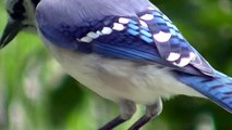 Bluejay Close Up ! Nature Minnesota Travel Minnesota Parks and Lakes !