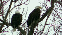 LOVE BIRDS 2 American Bald Eagle Eagles Resting on Tree watch in HD Full Screen