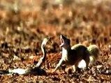 Snake vs Mongoose Real Fight _ Snake vs Mongoose Snake vs Mongoose Real Fight HD 2016