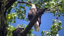 American Bald Eagle Eagles Resting on Tree watch in HD Full Screen