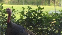 Wild turkey bangs and gobbles at window