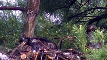 Eaglets (Bald Eagle) OUTDOORS MINNESOTA TWIN CITIES BIKE BIKING AREA