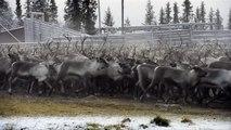 Sami reindeer herders gather flock in Swedish Lapland