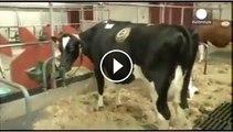 Scientist make alive machine of a cow