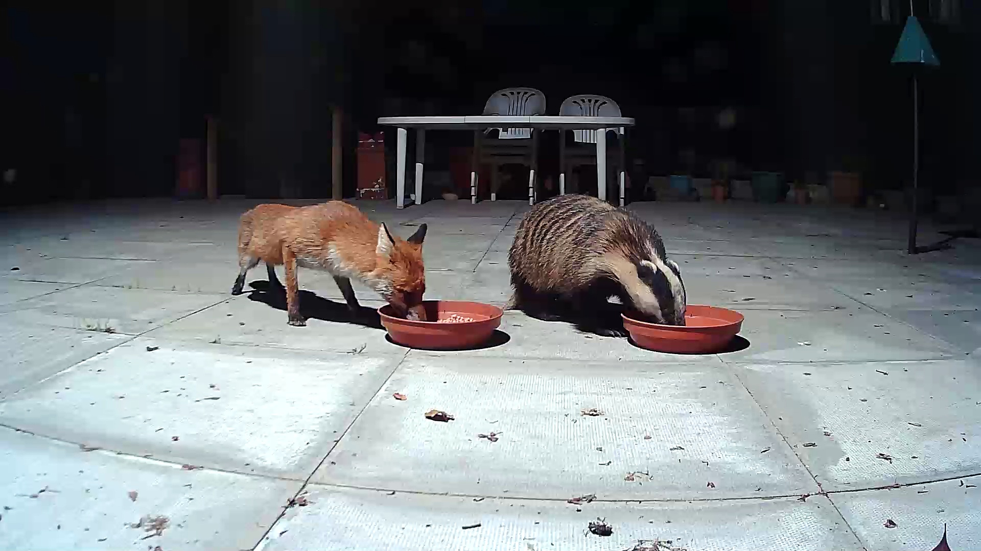 Badger & Fox Meet At The Feeding Bowl