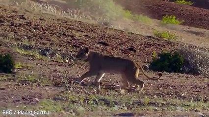 Une lionne essaie d'attaquer une girafe