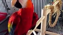 FUNNY PARROTS ★ World's BEST Talking Parrots (HD) [Funny Pets]