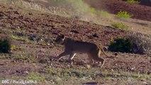 Une girafe remet violemment une lionne à sa place !