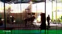 أسد يفترس مدرب أسود في مصر