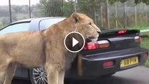 Lion attack at car in safari park