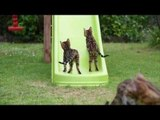 Backyard Fun With Bengal Kittens