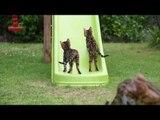 Backyard Fun With Bengal Kittens