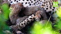 Rare Sighting of Cheetah Cubs In The Wild: CUTE AS FLUFF