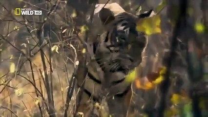 Nat Geo Wild - Tigers Revenge Wild animals -  [National Geographic Documentary]