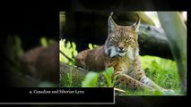 10 Small Exotic Cats That Are Kept As Pets - watchzozo full HD
