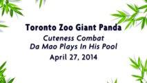 Toronto Zoo Giant Panda Cuteness Combat - Da Mao Plays In His Pool