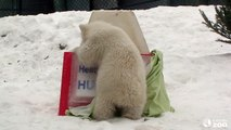 Toronto Zoo Polar Bear Cub Reveals Name