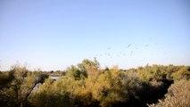 Camargue Pont-de-Gau, parc aux 2000 flamants roses, vols de flamants