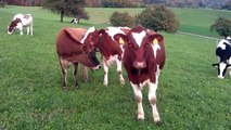 Cows for Kids 4 - More Cow Videos for Children - Livestock