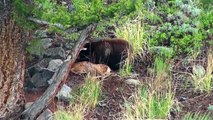 Bear eats elk calf alive - RAW uncut version - Yellowstone National Park