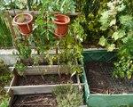 Tomates au jardin