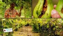 Ecophyto : A la Réunion, Sergio Victoire montre l'exemple aux producteurs de chouchous