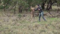 Un homme met une droite à un kangourou