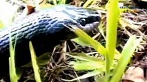 Most Amazing Wild Animal Attacks -Giant Man-Eating Snake ,Giant Snakes Ruthless Cannibals    HD