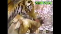 Wild animals attacks dog. Pit bull vs tiger. Leopard attacks dogs Mountain Lion vs dog fight
