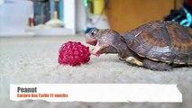 Ahududu Yemeye Çalışan Kaplumbağa