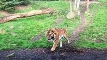 Ce tigre apprend qu'il ne faut JAMAIS réveiller une femme lors de sa sieste