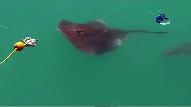 Stingray vs Great White Shark to grab the bait first!
