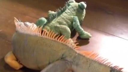 Un iguana vede un peluche simile a lei, guardate la sua esilarante reazione!
