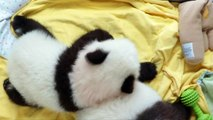 Twin baby pandas named 'elegant' and 'happy'