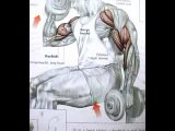 Body building Biceps Exercises (Easy Tips)