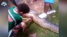 Anaconda gigante se come a un perro Pitbull Giant Anaconda eats a Pitbull dog