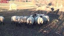 Produire des ovins viande AB