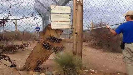 Esto sucede si le das la espalda a un león