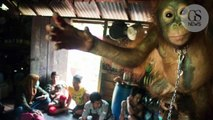 Cet orang-outan a vécu enchainé à l'étagère d'une cuisine pendant six mois à Bornéo