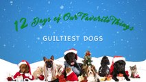 VCD's 12 Days of Christmas Guiltiest Dogs