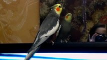 Попугай корелла(нимфа) говорит и пляшет ля-ля,мяу-мяу.parrot cocktail(nymph) speak la-la,meow