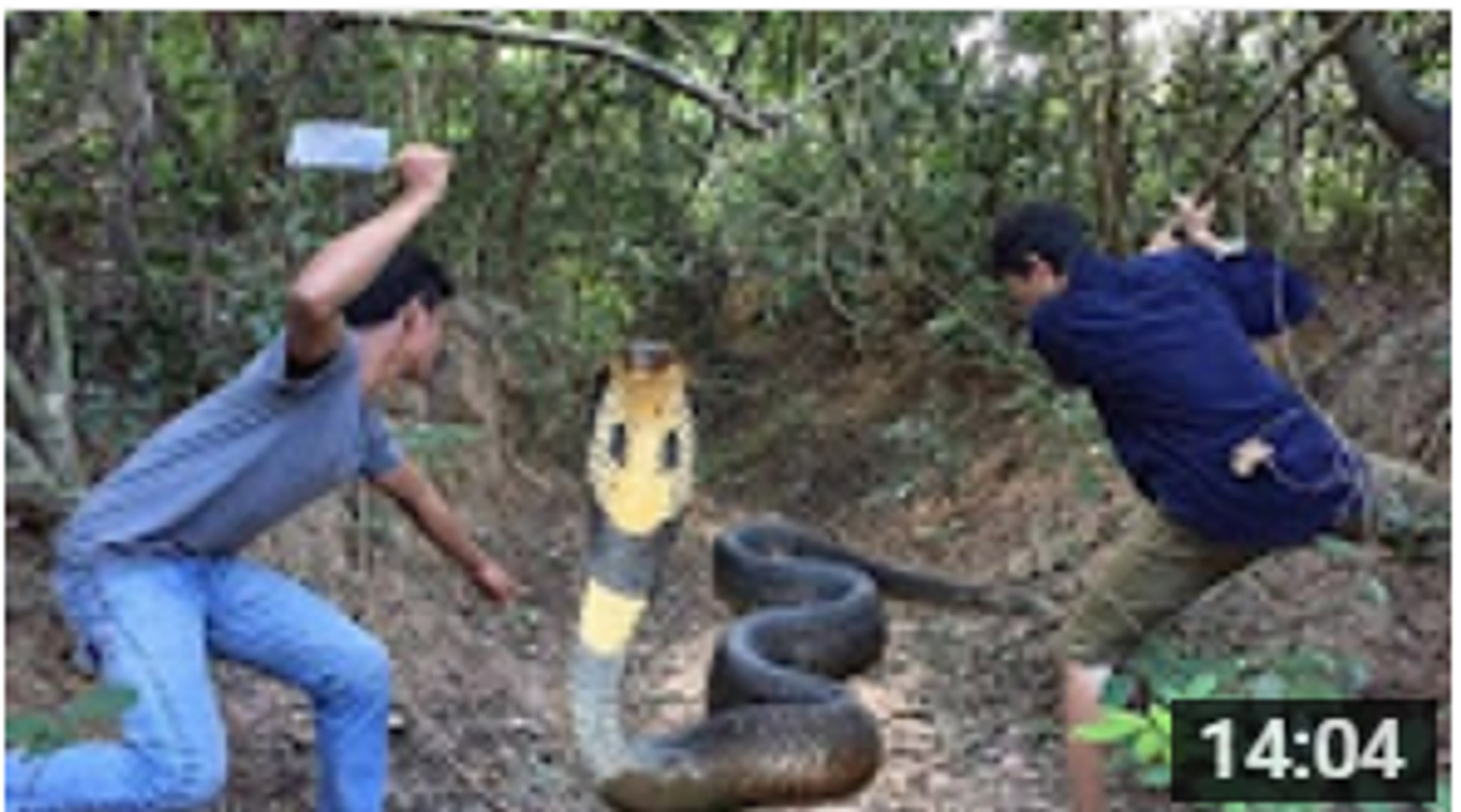 Amazing Human Catch Tree Snake Using The Simple Net Trap - How to Catch Tree Snake in Cambodia