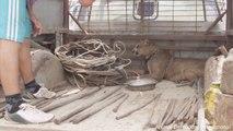 Ce puma est libéré de ses chaines après avoir passé sa vie enchainé