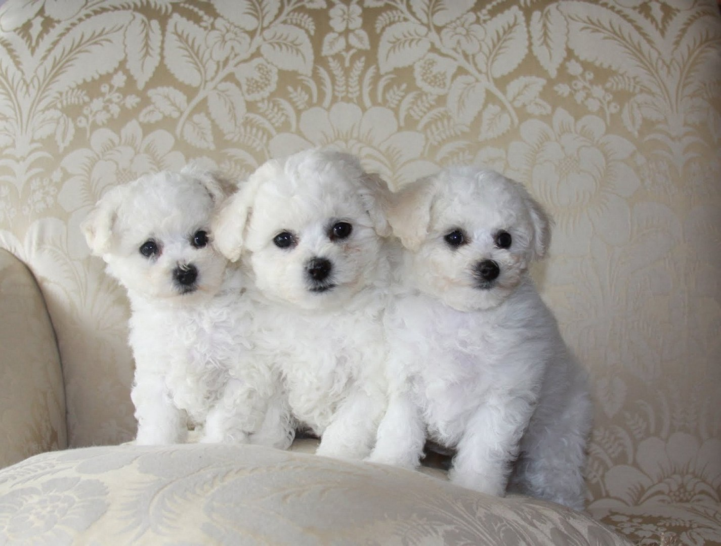 Bichon Frise Poodle Puppies 85 Doggyman