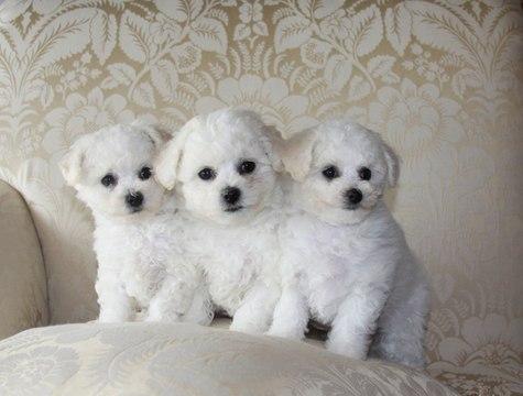 Bichon Frise Poodle Puppies - 85 - DoggyMan