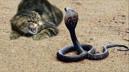 Amazing Cat vs cobra snake fight