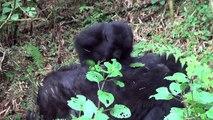 Researcher Captures Rare Footage of Wild Baby Gorillas Playing in Rwanda