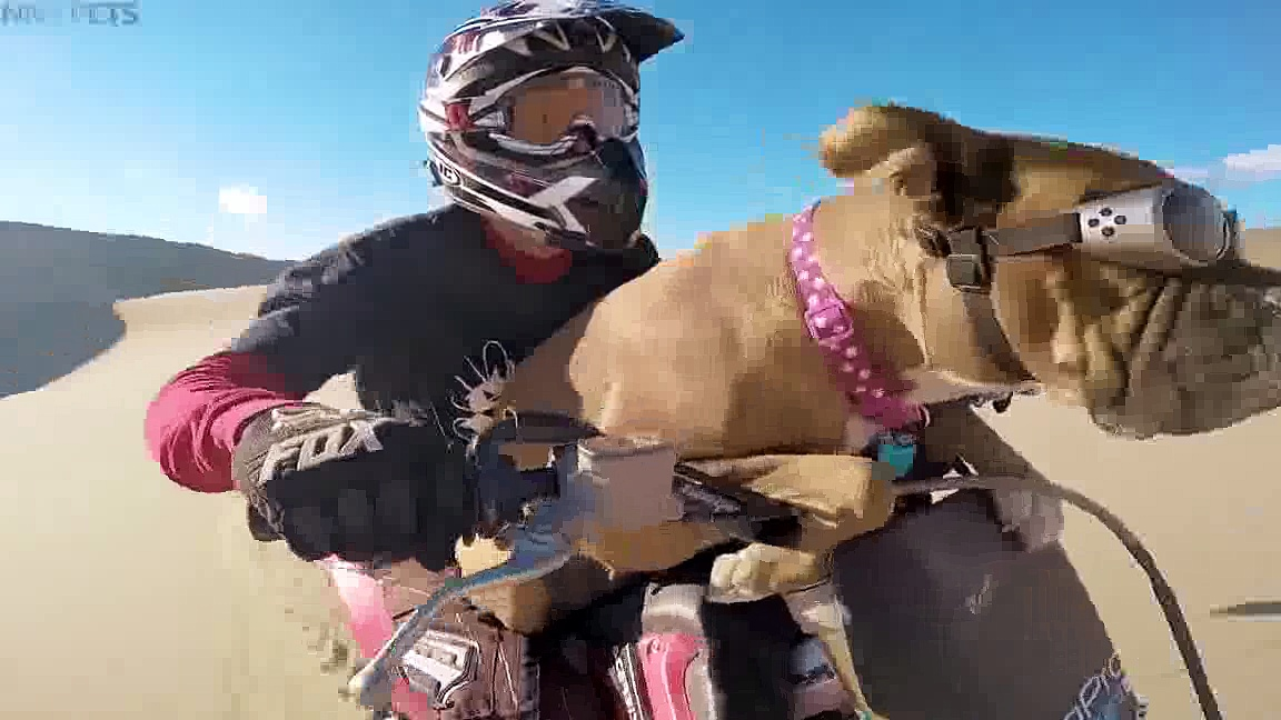 Dogs RIDING BIKES Funny Dogs Drive Motorcycles