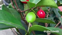 Buah Cherry Merah - Red Cherry Fruit - Photo Collections