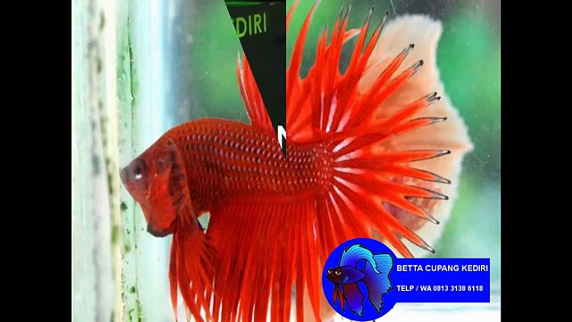 Unduh 58 Koleksi Gambar Ikan Cupang Ekor Jarum HD Terbaru